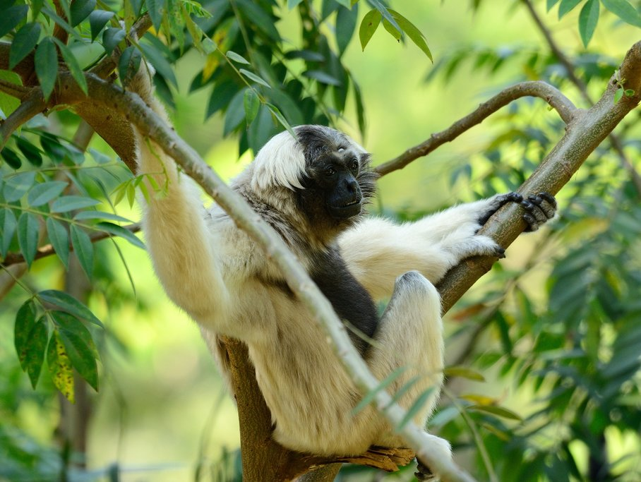 Go on an early morning boat ride to see animals like the pileated female gibbon