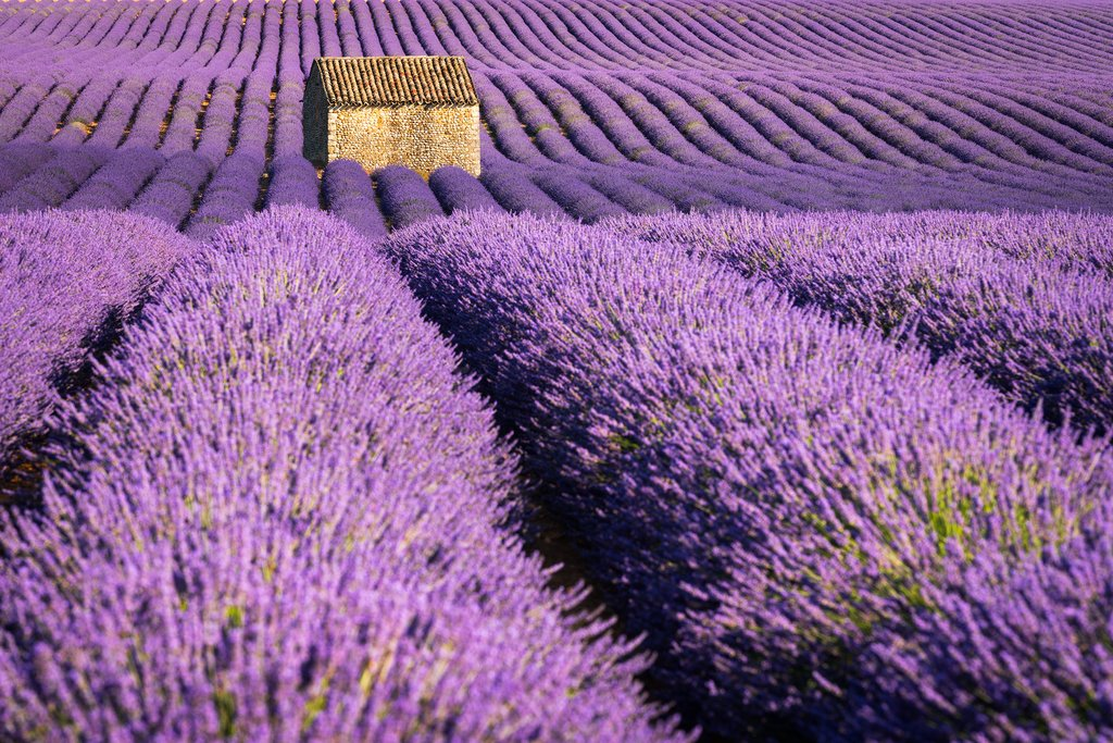 Lavender fields of Valensole