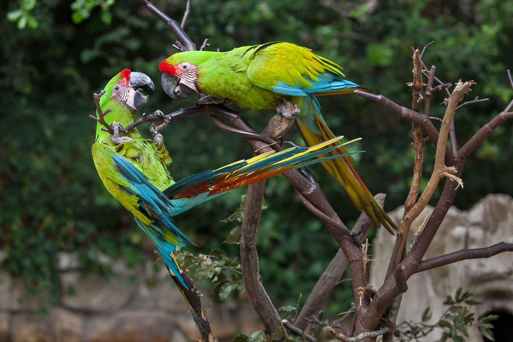 Green macaws thrive in this region