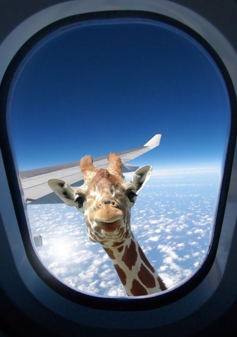 Giraffe saying goodbye