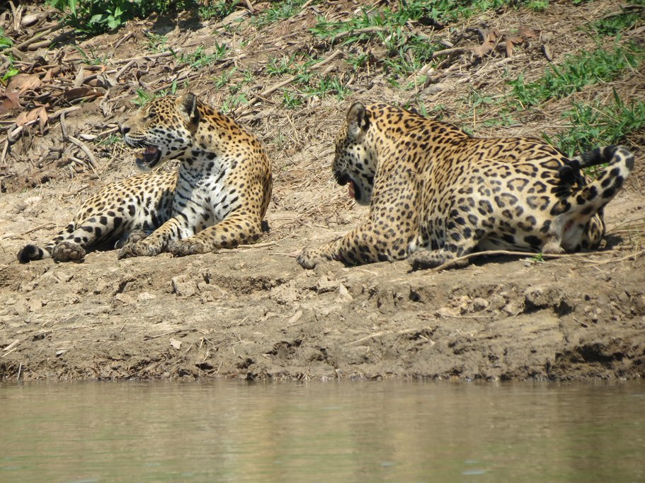 Jaguars relaxing on the riverbank