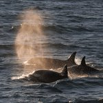 Photo from Whalsafari Andenes