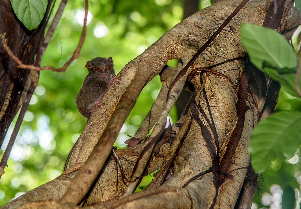 Indonesia - Tangkoko National Park - Tarsius tarsier