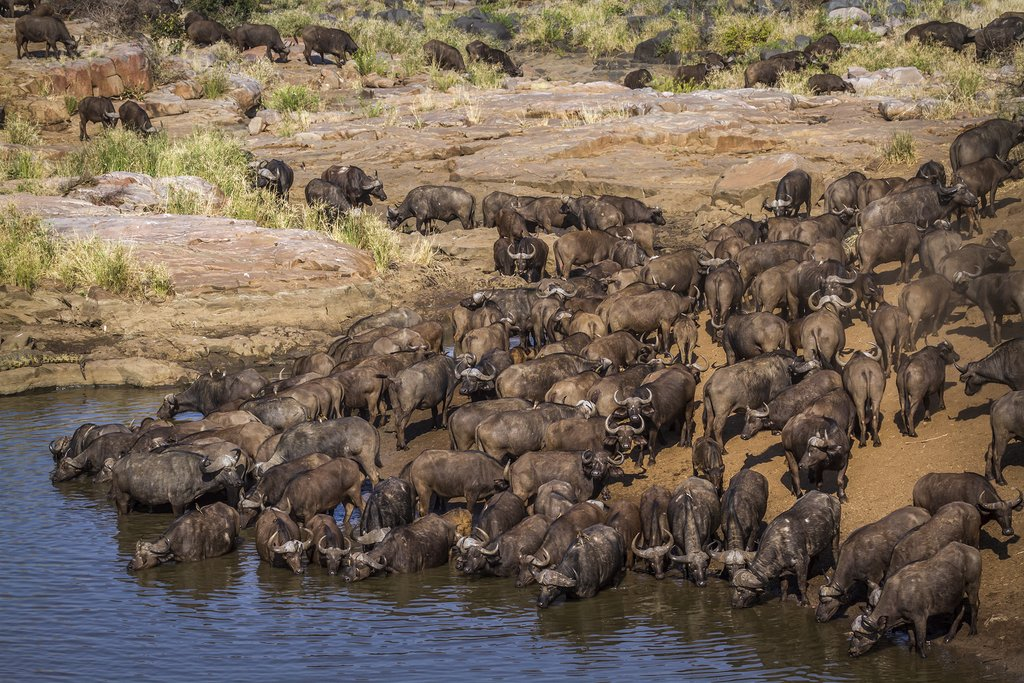 Wildebeest near the Mara River