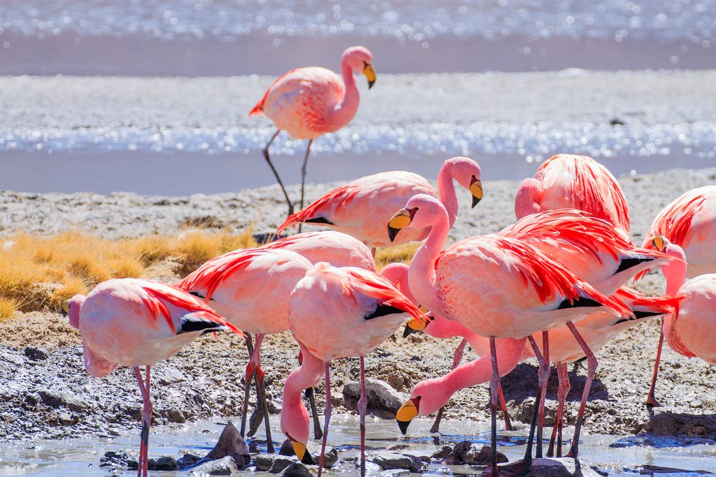 Flamingos on a lagoon in Bolivia
