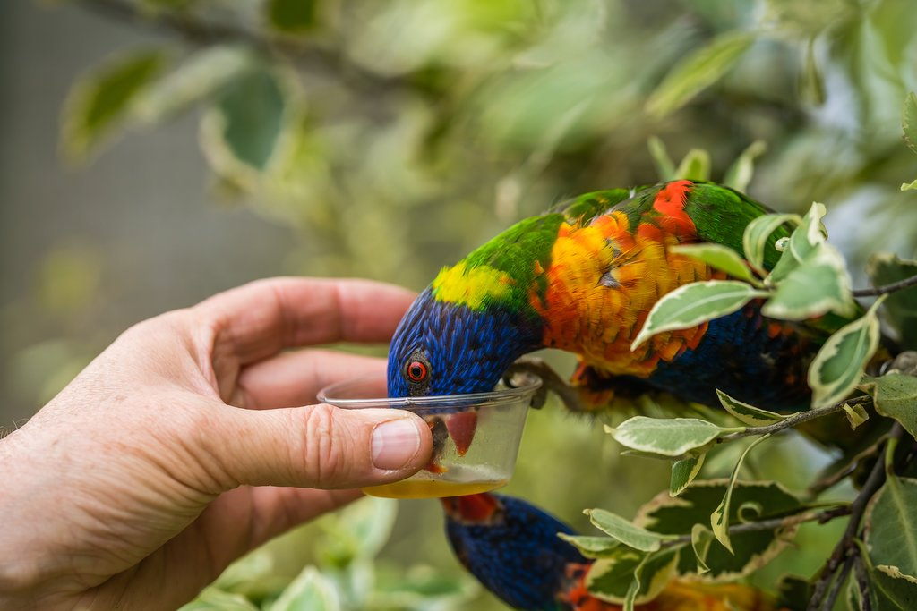 Visit the Lorikeet feed at Currumbin Wildlife Sanctuary