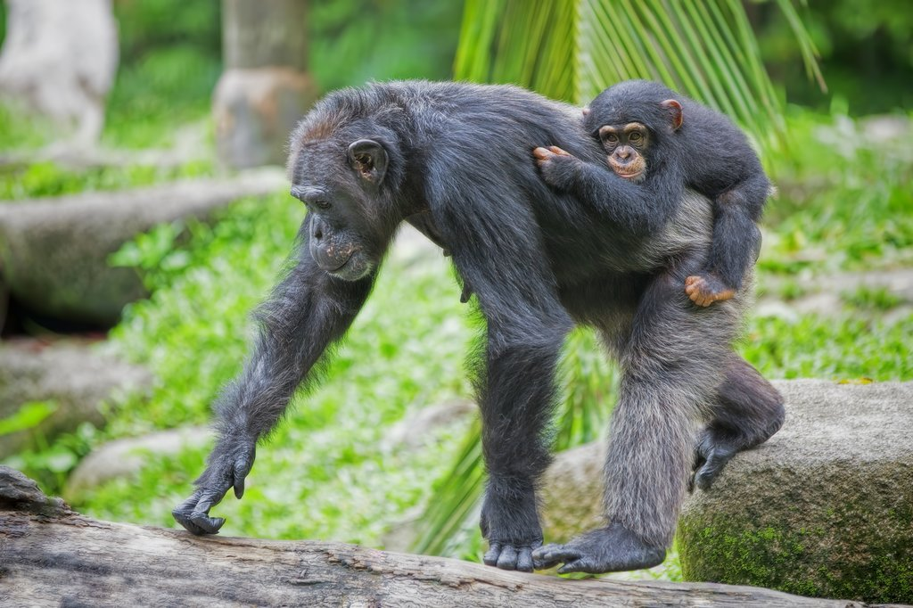 Chimpanzee with her young