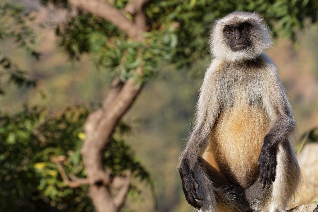 Keep an eye out for langur monkeys