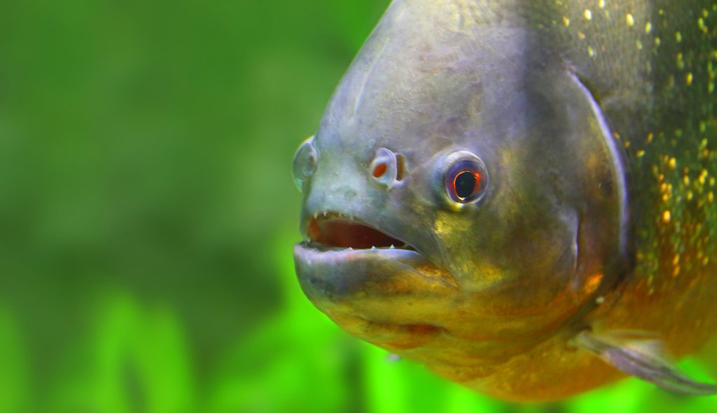 Go fishing for piranha
