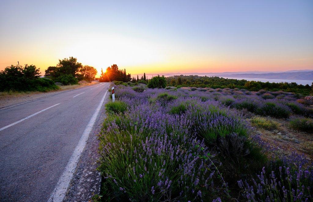 Lavender fields around the Island of Hvar