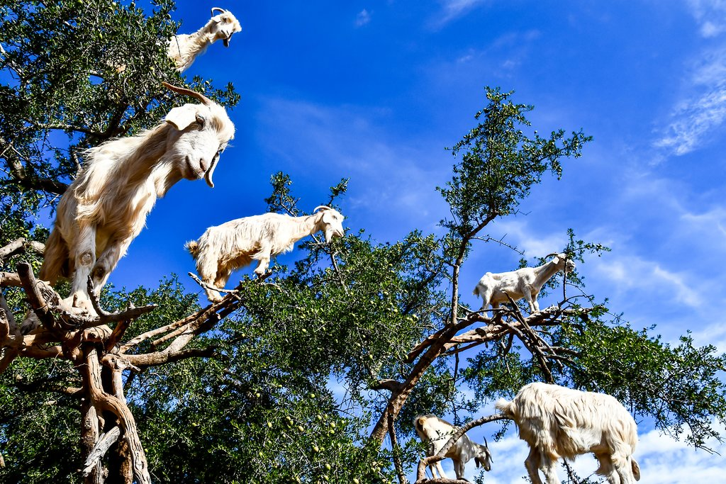 Goats high in the branches of Argan trees!