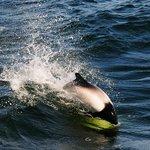 Be on the lookout for Commerson dolphins