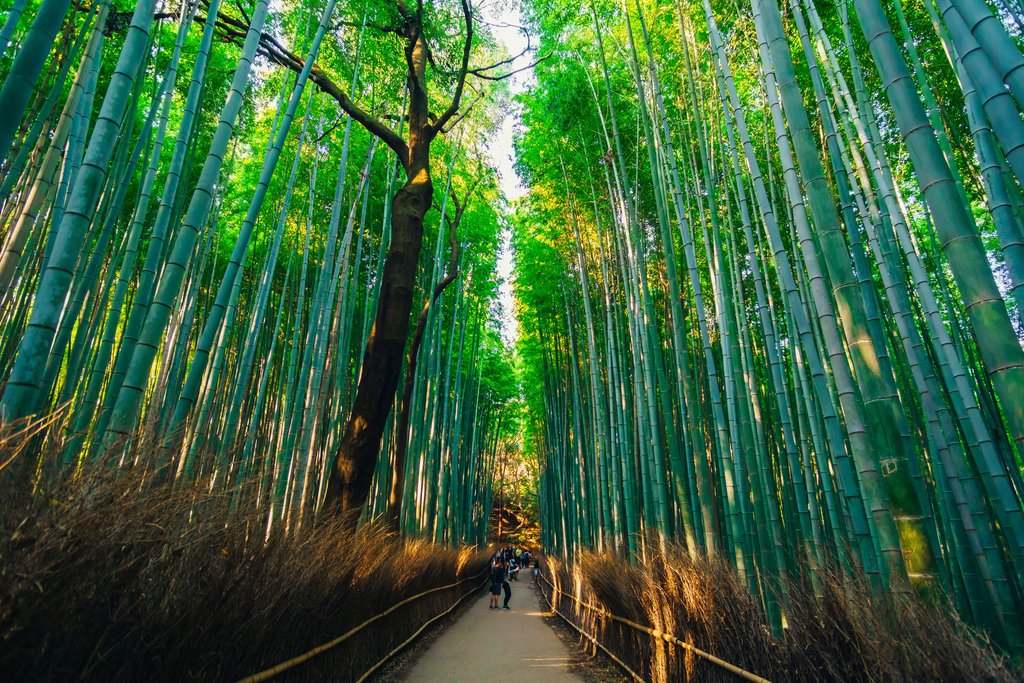 Arashiyama's dense bamboo groves.