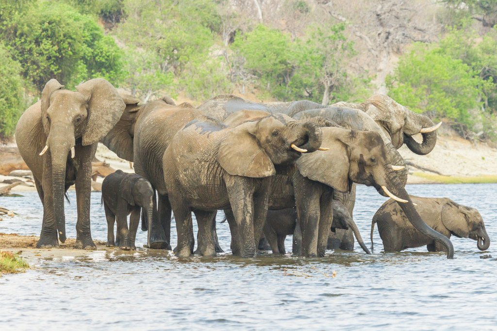 A herd of elephants in Chobe National Park
