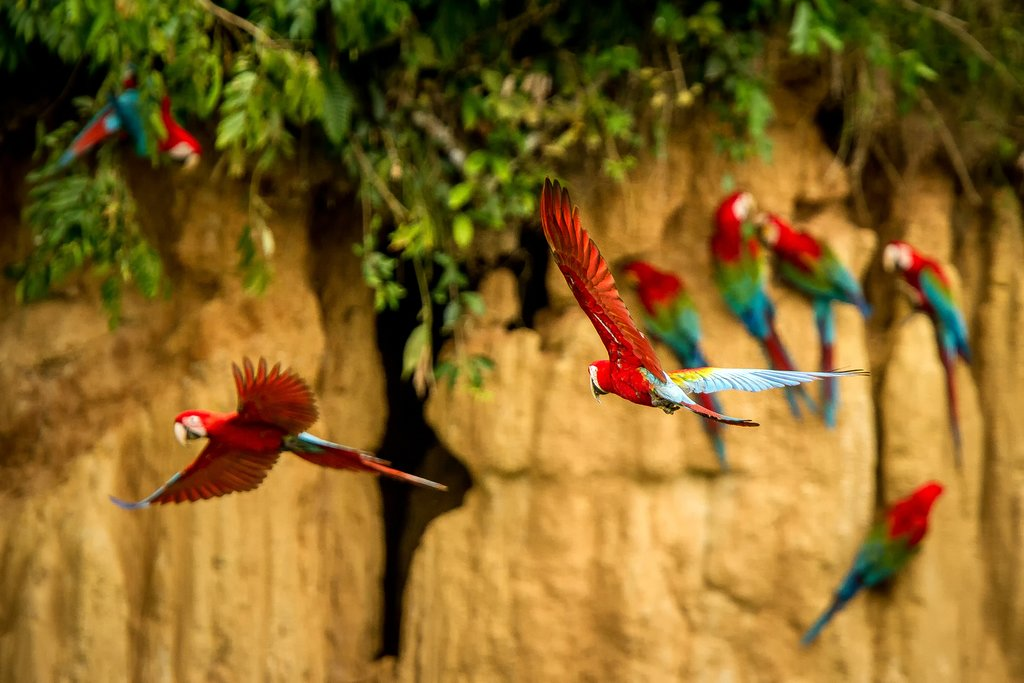 Parrots and macaws in the Amazon