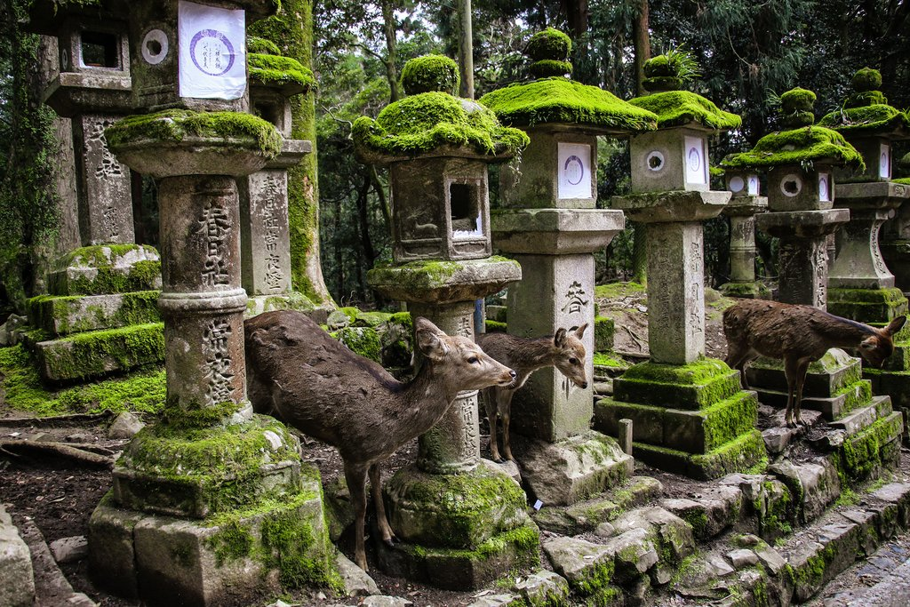 Deer among ancient stone lanterns at Nara.