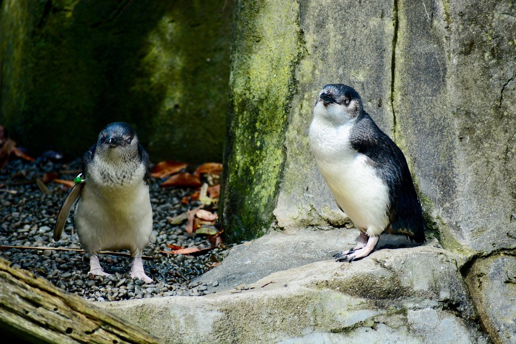 Wild Penguin Population in Australia