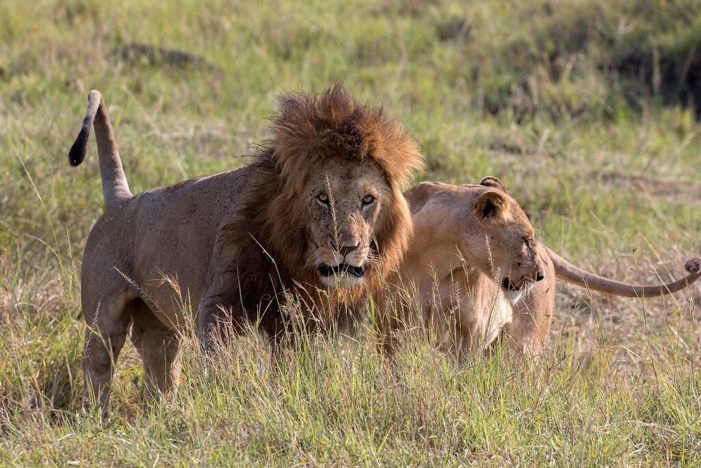 A pair of lions in the Maasai Mara, Kenya
