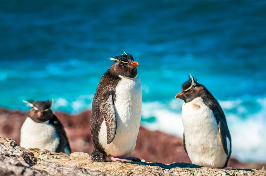 Rockhopper Penguins in Patagonia