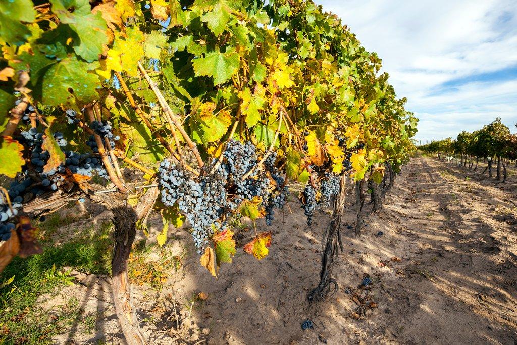 Grapes on the vine in Mendoza Province