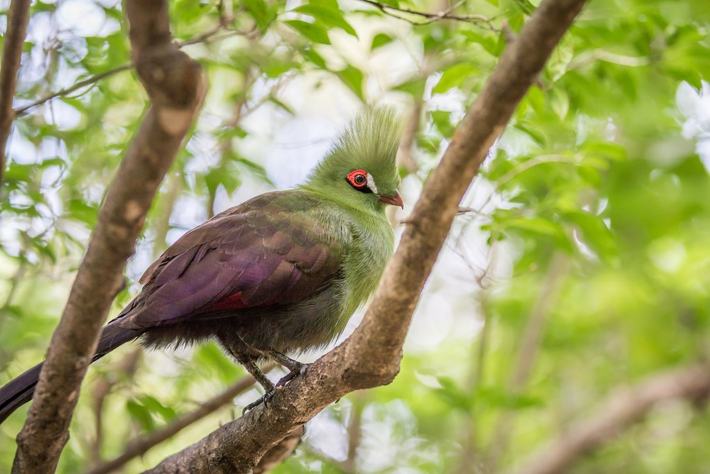 Look for the Knysna's turaco