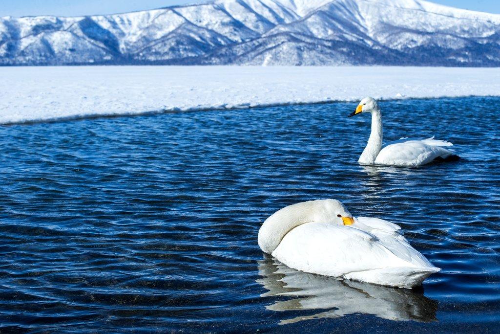 Whooper swans float in the thermal waters of Lake Akan.
