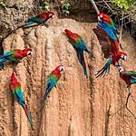 Macaws enjoying a clay lick