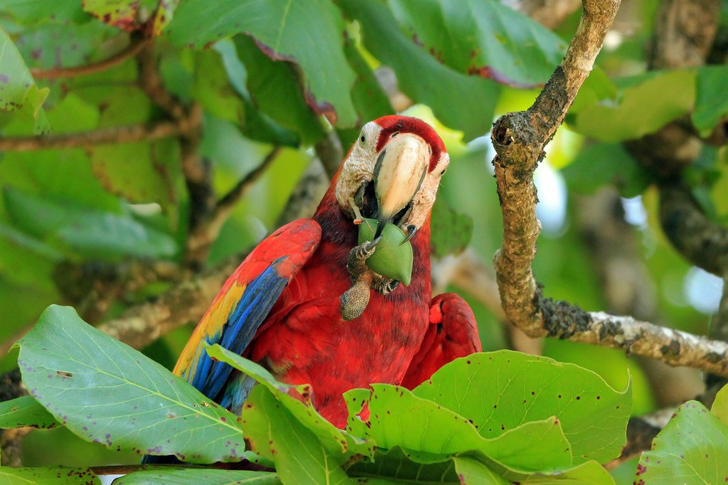 Scarlet macaw, one of the many exotic residents of Corcovado