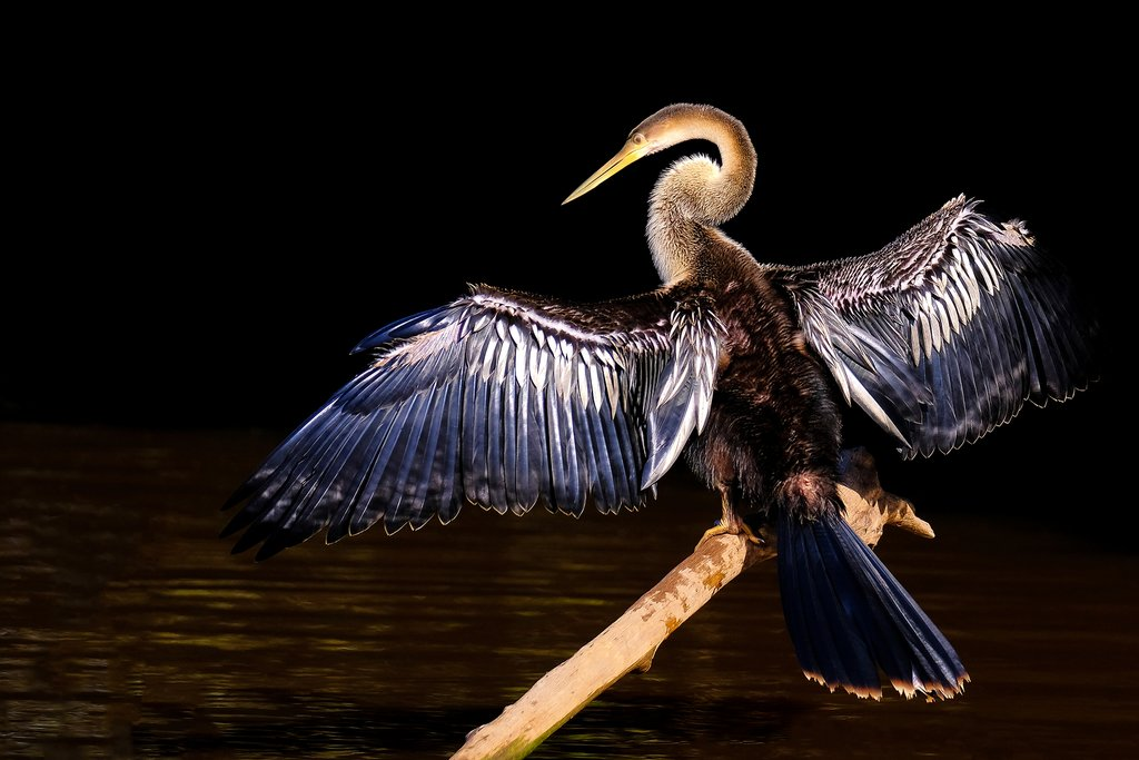 The anhinga, or