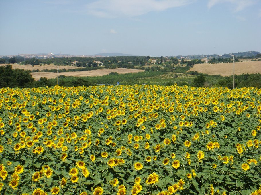 Countryside sunflowers