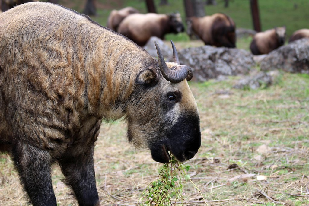 Takins, the Bhutanese national animal
