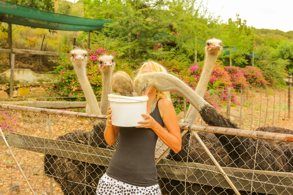Feed the ostriches