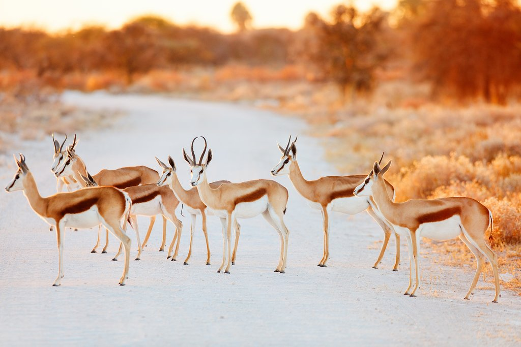Why did the springbok cross the road?