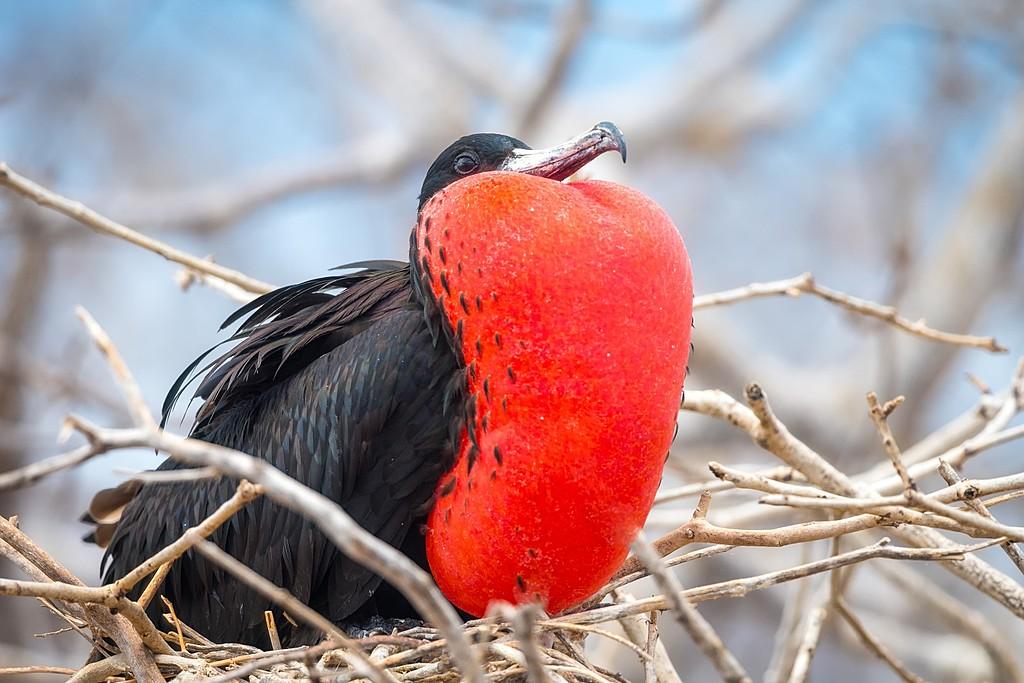 Frigate bird nesting