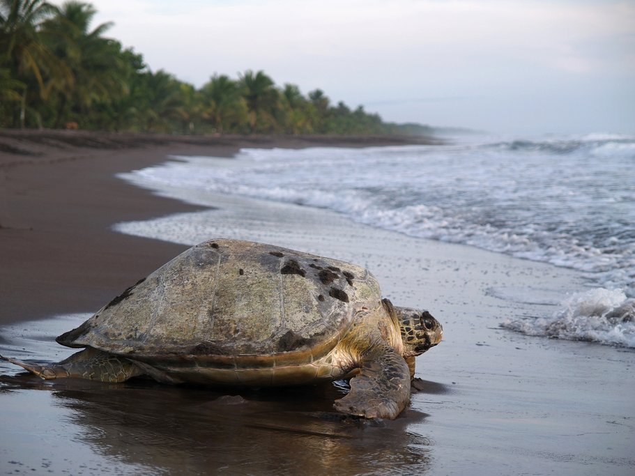 Sea turtles come to Tortuguero to lay their eggs