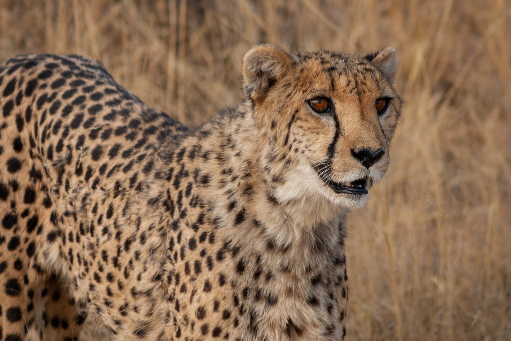 Close-up of a Cheetah in Okonjima, Namibia