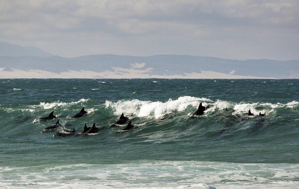A pod of Bottlenose Dolphins at Jeffreys Bay