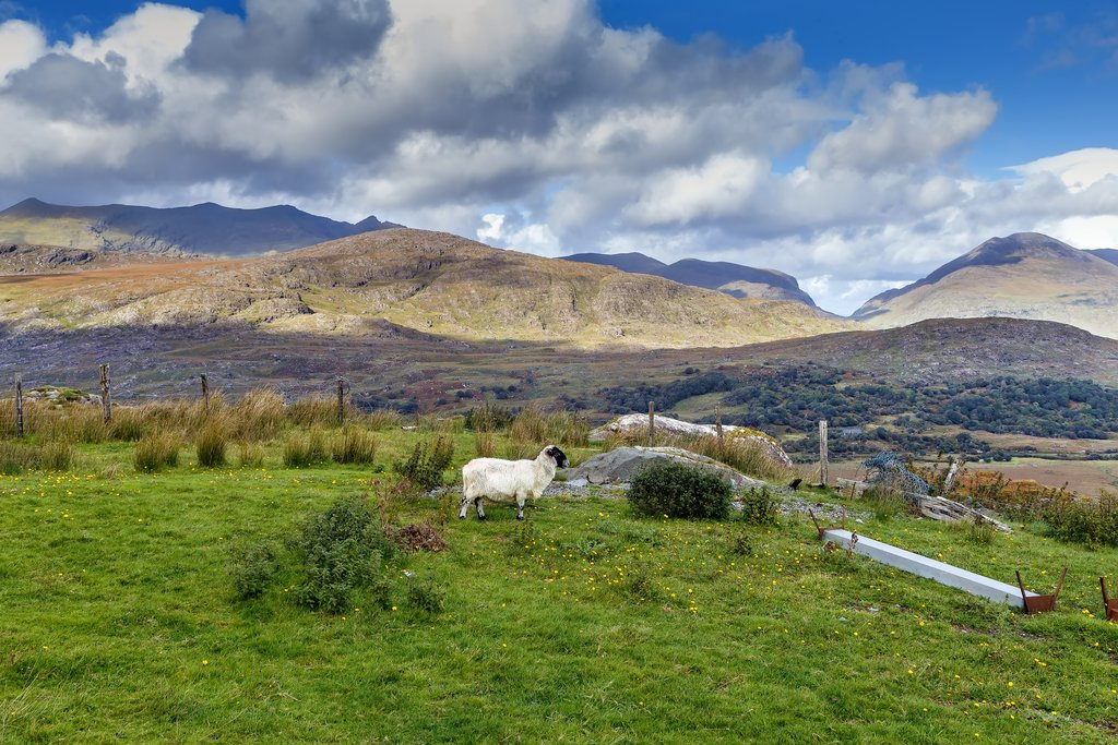 Ring of Kerry - Sheep