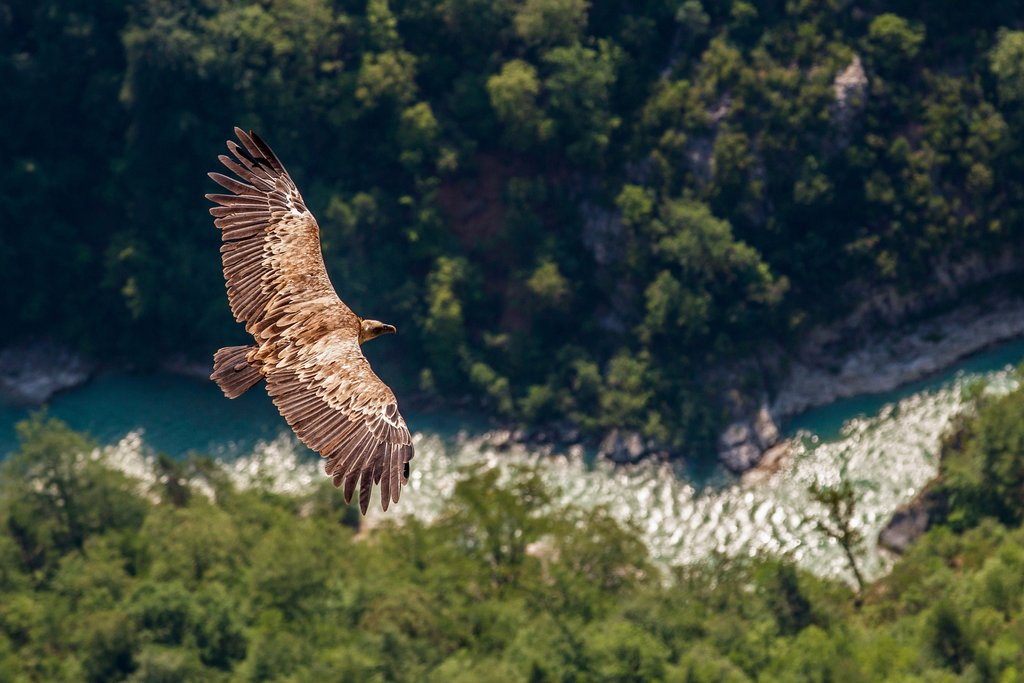 Vulture flying through the gorge