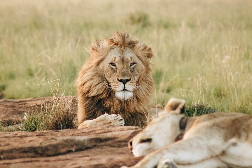 Two lions in Kruger National Park