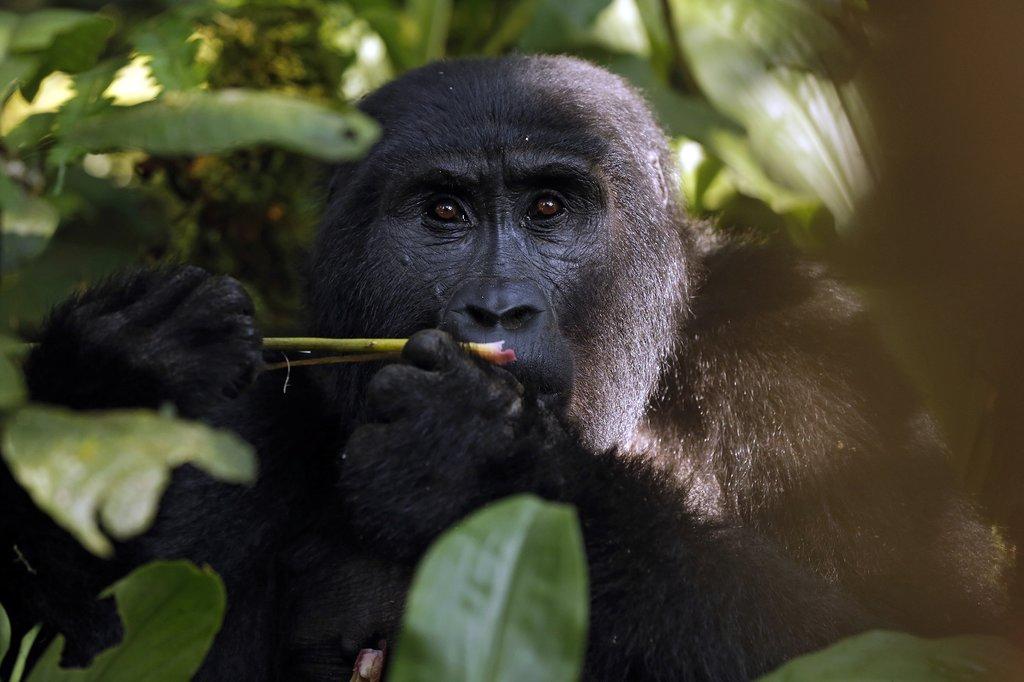 Wild mountain gorilla at Bwindi National Park