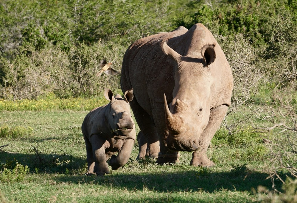 A two month old rhino with its mother