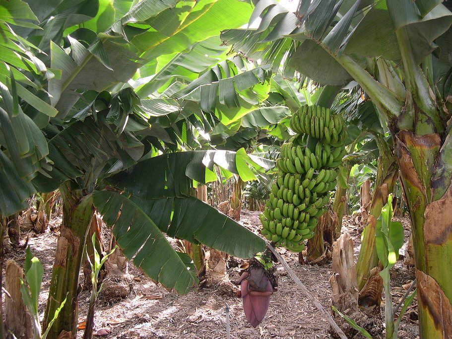 A Costa Rican banana plantation