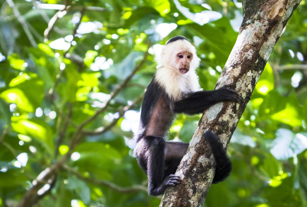 Be on the lookout for capuchin monkeys