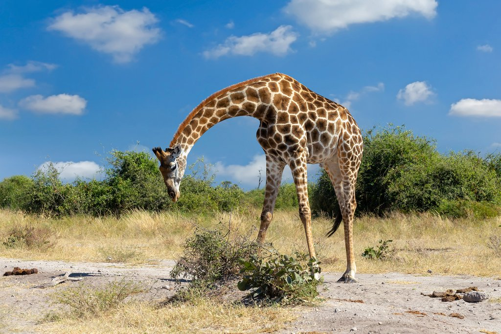 Safari Giraffe preparing to eat in Chobe National Park