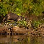 The impressive giant river otter