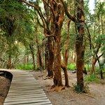 Arrayán trees line the pathways in Llao Llao Park