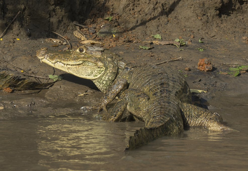 A caiman on the shore of Rio Frio in Caño Negro Wildlife Refuge