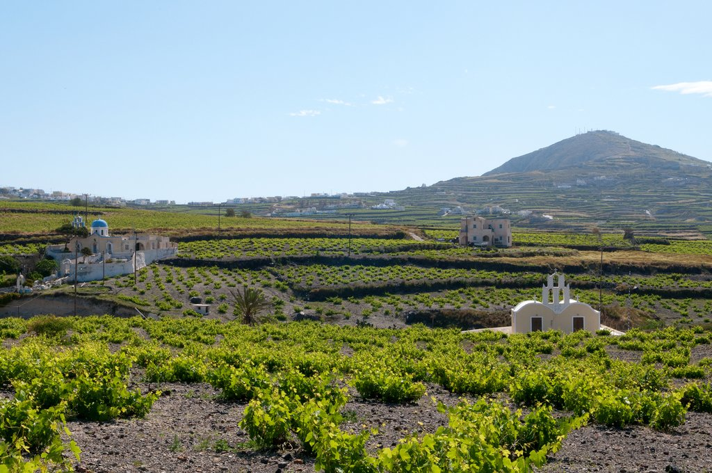 Vineyard in Santorini