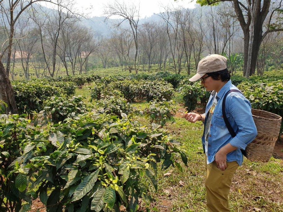 Chiang Mai tea plantation